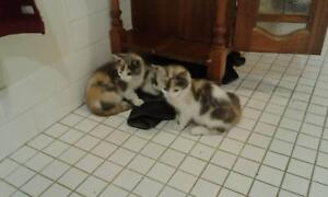 Kittens ragdoll cross