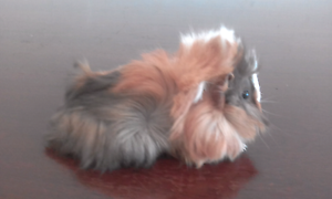 Baby guinea pig Lockridge Swan Area Preview