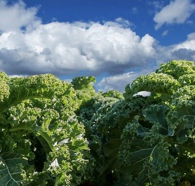 Organic Blue Curled Scotch Kale Vegetable Seeds Packet 1 GRAM Greens 2019 USA (Organic 1 Packet)