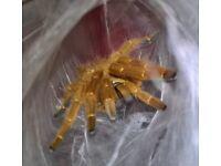tarantula collection (BARGAIN)