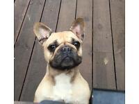Spayed adult frenchbulldog girl