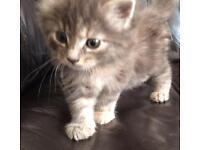 Grey female kittens