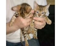 Stunning pair of brown rosetted Bengal kittens