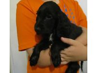 Beautiful Cocker Spaniel Puppy's (Blue Roan, White and Black & Black)