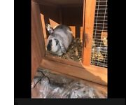 Dwarf lop bunny