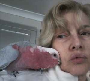 Hand-raised male galah & cage Nerang Gold Coast West Preview