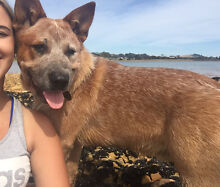 Red heelers Gawler Central Coast Preview