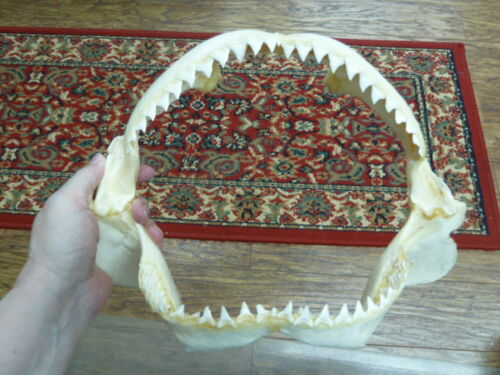 "(sj30-130-6) 13"" BULL SHARK A grade jaw sharks jaws teeth taxidermy ichthyology"
