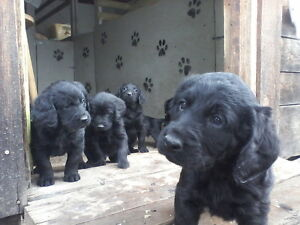 FAMILY FARM RAISED LABRADOODLES