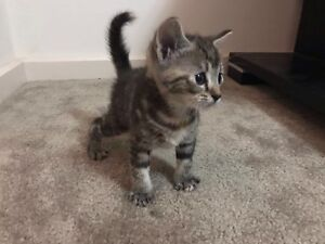 cute and furry eight weeks kitten South Morang Whittlesea Area Preview