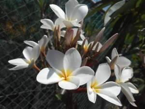 Frangipani trees, Plumeria - white, pink, dark pink, tricolor West Ballina Ballina Area Preview