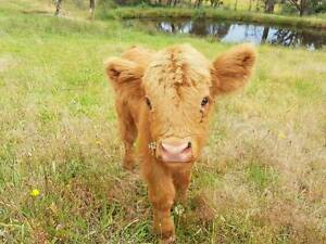 Scottish Highland Calf For Sale Trunkey Creek Outer Bathurst Preview