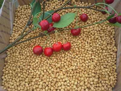 Craft Cherry Pits 10 Lbs