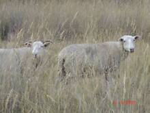 Sheep - 33 crossbred ewes, running with Merino ram Inverell Inverell Area Preview