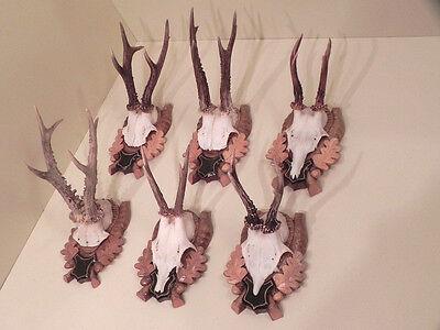 6 Rehgweihe Cornamentas de ciervos ASTA Cuernos Decoración pared #21.187