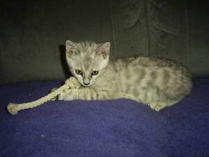 Silver Spotted Pedigree Bengal kitten from Australian Bengals. Coffs Harbour Coffs Harbour City Preview