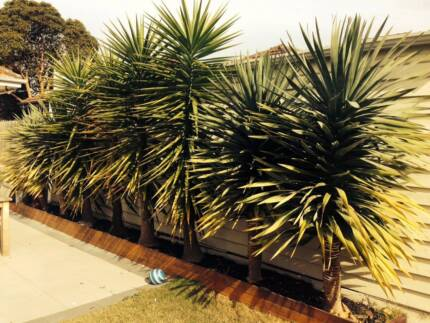 $0 Free!!  Yukka(Yucca's) - new owner to remove from garden bed Parkdale Kingston Area Preview