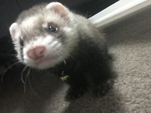 Ferret + Cage for sale Rivervale Belmont Area Preview