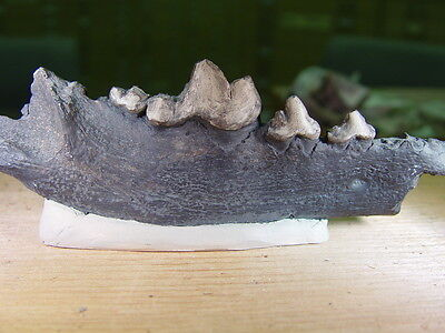 GEOLOGICAL ENTERPRISES Pleistocene fossil Cast of Canis dirus