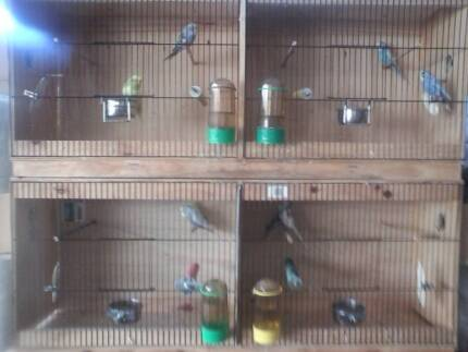Budgie Breeding Pairs on Sale Sunday Langford Gosnells Area Preview