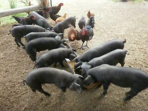 Large Black x piglets Mole River Tenterfield Area Preview