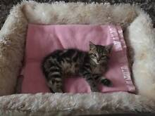 Free female kitten to good home only Fullerton Cove Port Stephens Area Preview