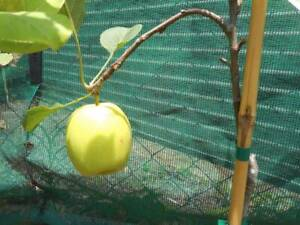 Tropical Apple and Pear trees, grafted West Ballina Ballina Area Preview