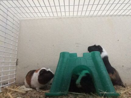 Guinea Pigs Ready For New Home