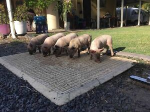 Piglets for Sale Cooroibah Noosa Area Preview