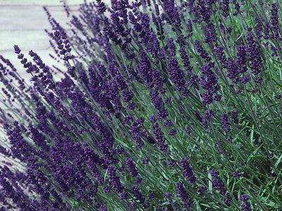 Hidcote Blue Lavender Herb   Calming   Live Plant   Quart Pot