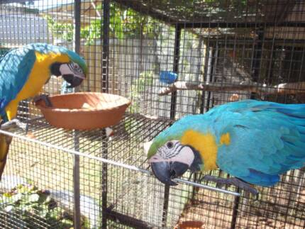 Blue and Gold Macaws Parmelia Kwinana Area Preview