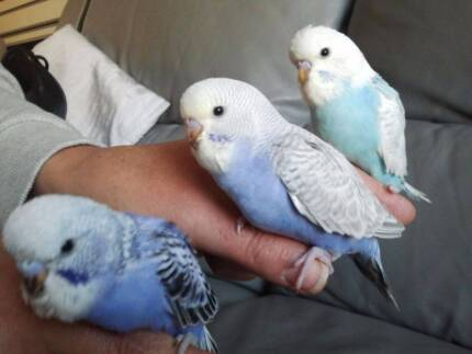 Baby budgies, Pied, Harlequin, lace and spangle birds 4 sale South Wentworthville Parramatta Area Preview