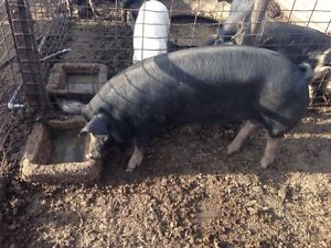 Pure breed Berkshire gilt Karoonda Karoonda Area Preview
