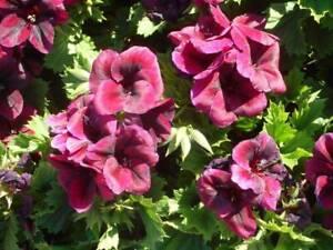 Chocolate Pelargonium Plants (Dark Red Flower)