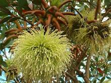 Tasmanina Native Plants - Nursery surplus stock Sorell Sorell Area Preview