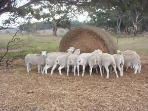 Wiltipoll hogget ewes - Quality, Easy care Barossa Area Preview