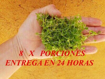 Planta de acuario, gambario,Micranthemum montecarlo¡¡¡¡ 8 PORCIONES DE 5X5 !!!!!