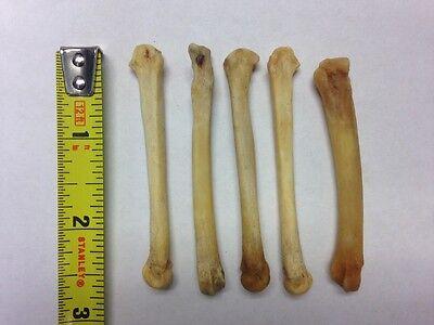 Coyote Foot Bones Set Of 5  Avg 2 5  Ea  Wicca Palo Santeria Voodoo Free Ship