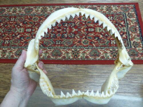 "(sj30-130-8) 13"" BULL SHARK A grade jaw sharks jaws teeth taxidermy ichthyology"