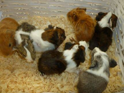 Guinea Pig Baby Guniea Pigs Coramba Coffs Harbour Area Preview