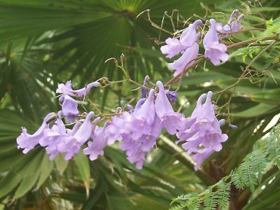 Usado, Fabulous Jacaranda - Stunning Blue Flowers segunda mano  Embacar hacia Spain