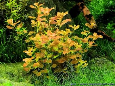 Beauty Stems - 5 Stems ludwigia ovalis leaf Live Aquarium Plants beautiful plant! FREE S/H!!!