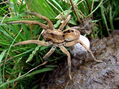 Wolf Spider Glossy Poster Picture Photo Print Insect Arachnid 4470