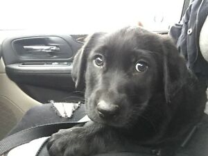 Lab x Shep for Sale