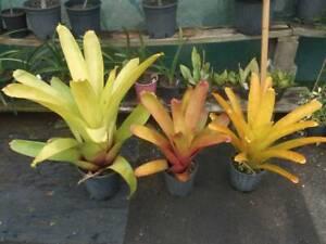 Aechmea blanchetiana Bromeliades, Green, Orange, Yellow West Ballina Ballina Area Preview