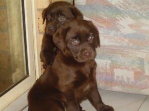 Pure Breed Chocolate Labrador Puppies