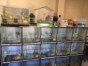 Canaries for sale Punchbowl Canterbury Area Preview