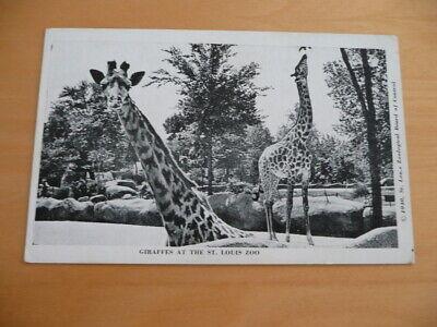 Old Postcard St. Louis Missouri Zoo Giraffes St . Louis Zoo