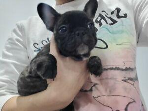 French Bulldog Purebred puppies