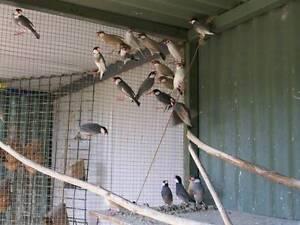 java sparrows. Horsley Park Fairfield Area Preview